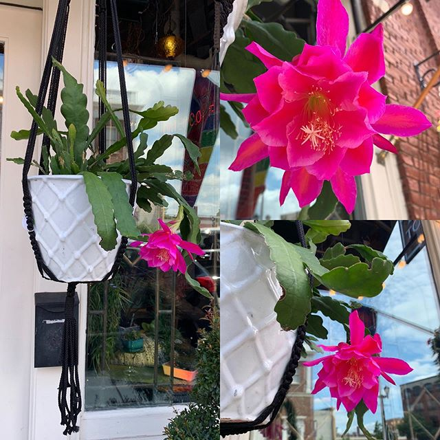 Today's show off:  this exquisite orchid cactus!! It's quite a looker and would love a forever home!!
