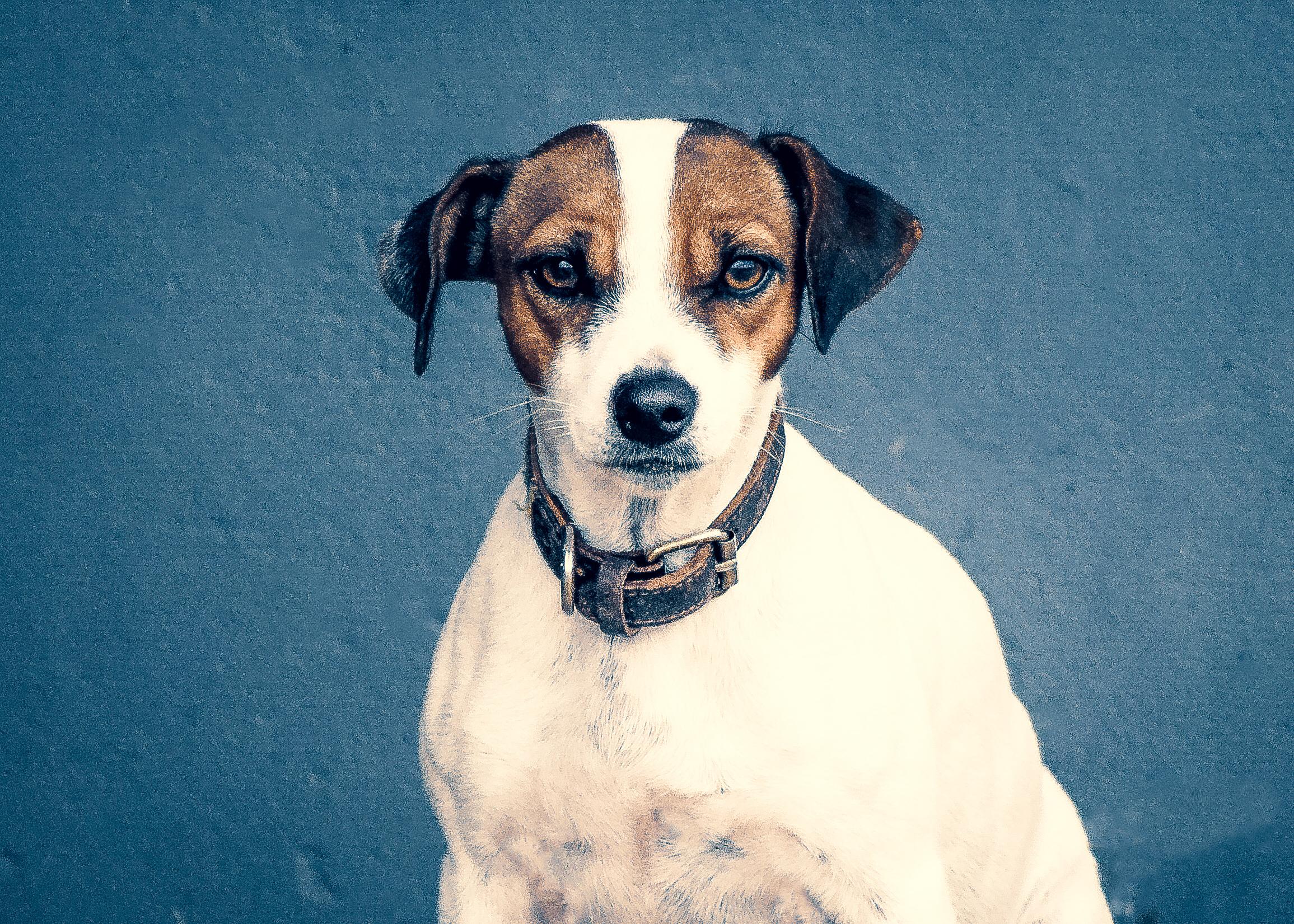 Dog Photography - Bodeguero - Spanish Fox Terrier