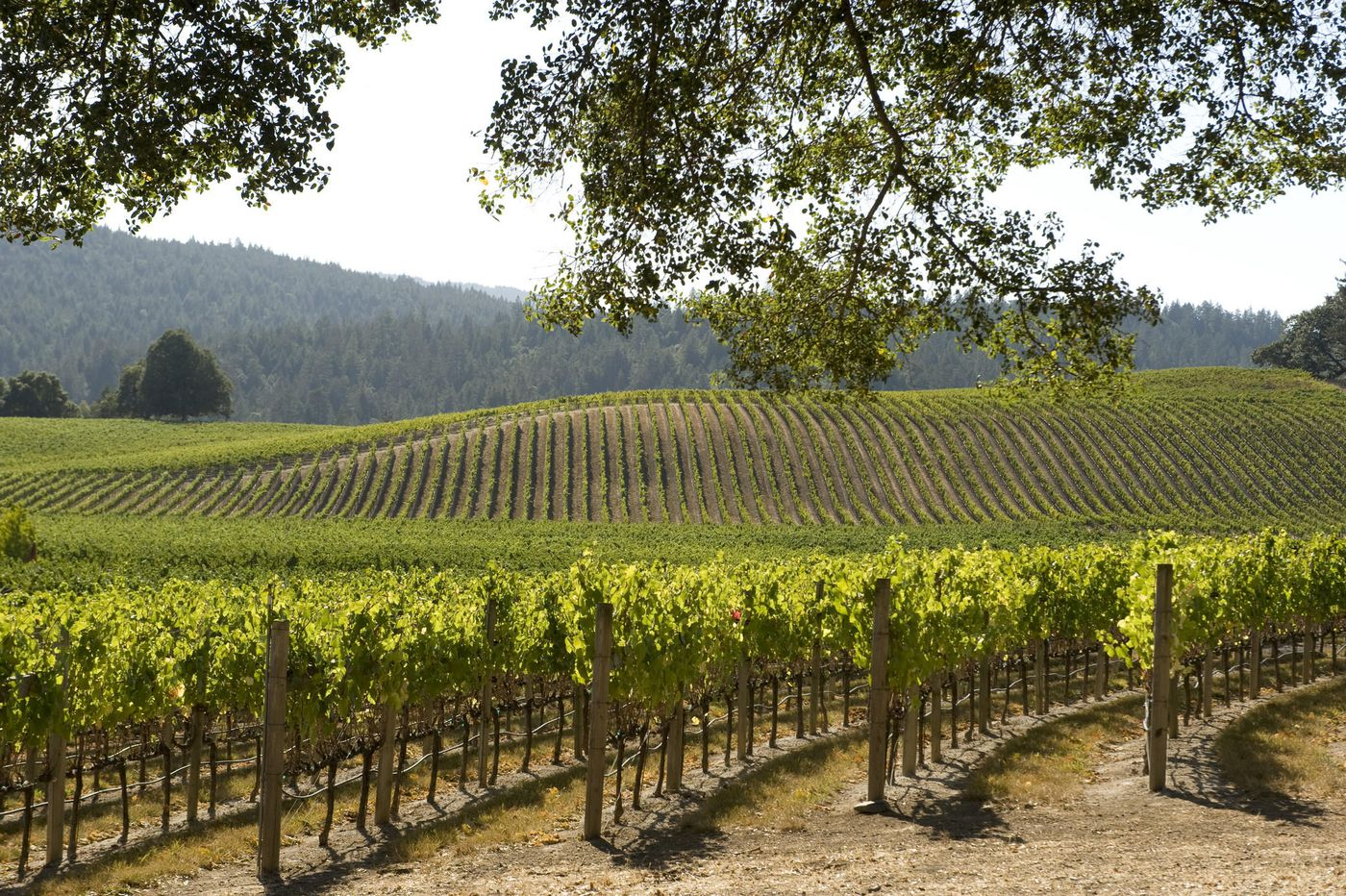 The vineyard sits alongside the Russian River in Mendocino's inland area. Valley fruit combined with well drained alluvial soil provide elegant conditions to ripen the flavors of an early picked Syrah. -