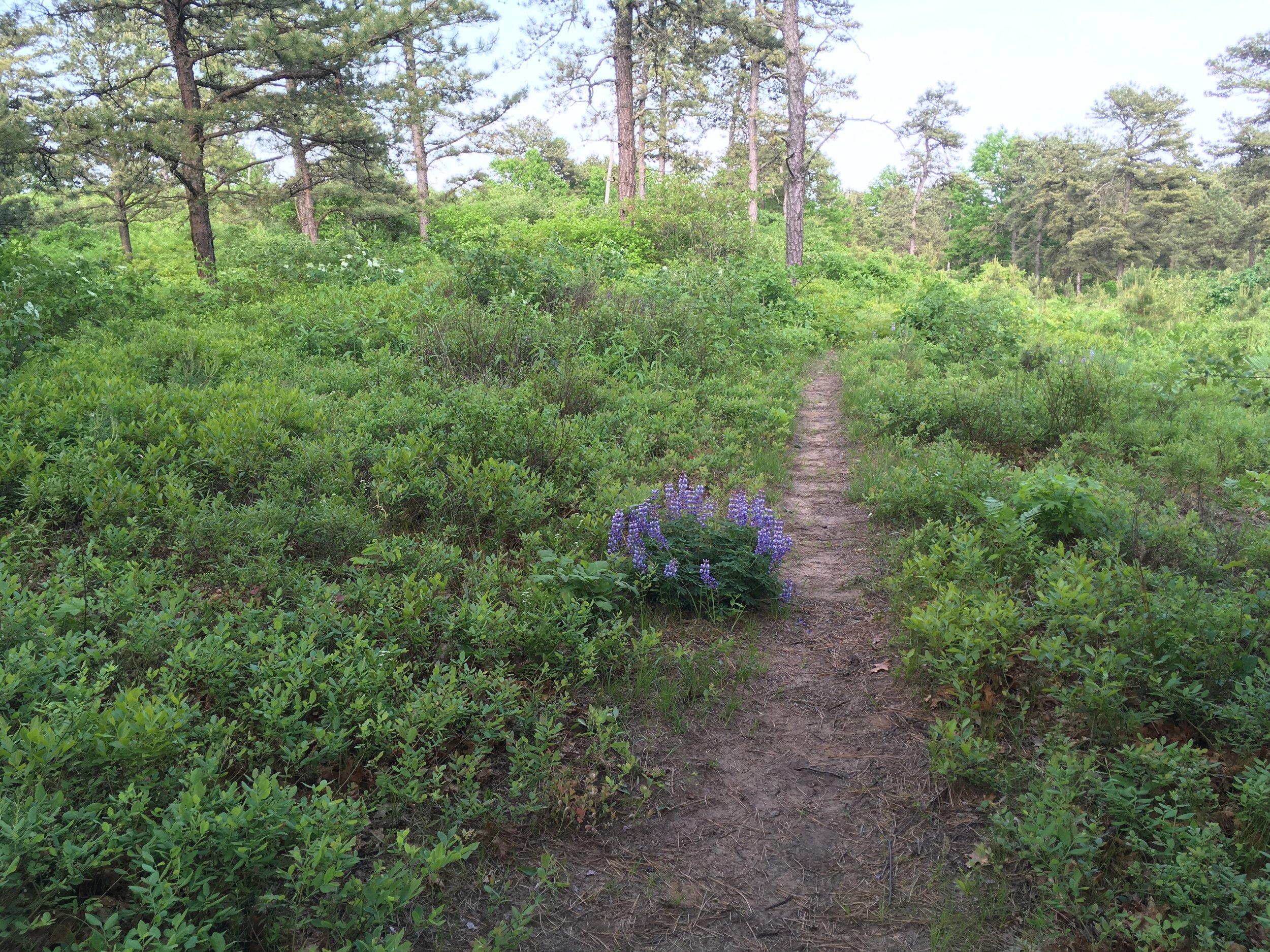 LUPINE path.jpg