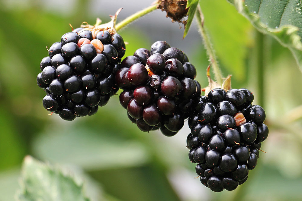 cashins-farms-blackberries.jpg