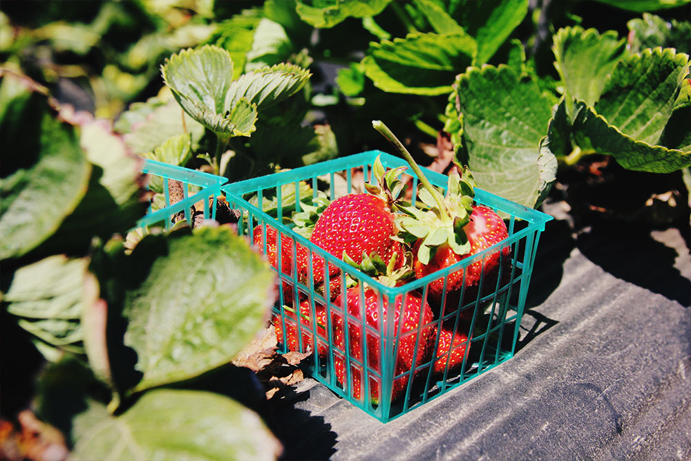 cashins-farms-strawberries.jpg