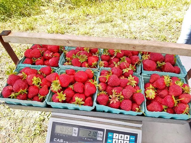 We normally don't like to brag buttttt.... the late season berries are show stopping! And all that for under $22?! #cashinsfarm #farmfresh