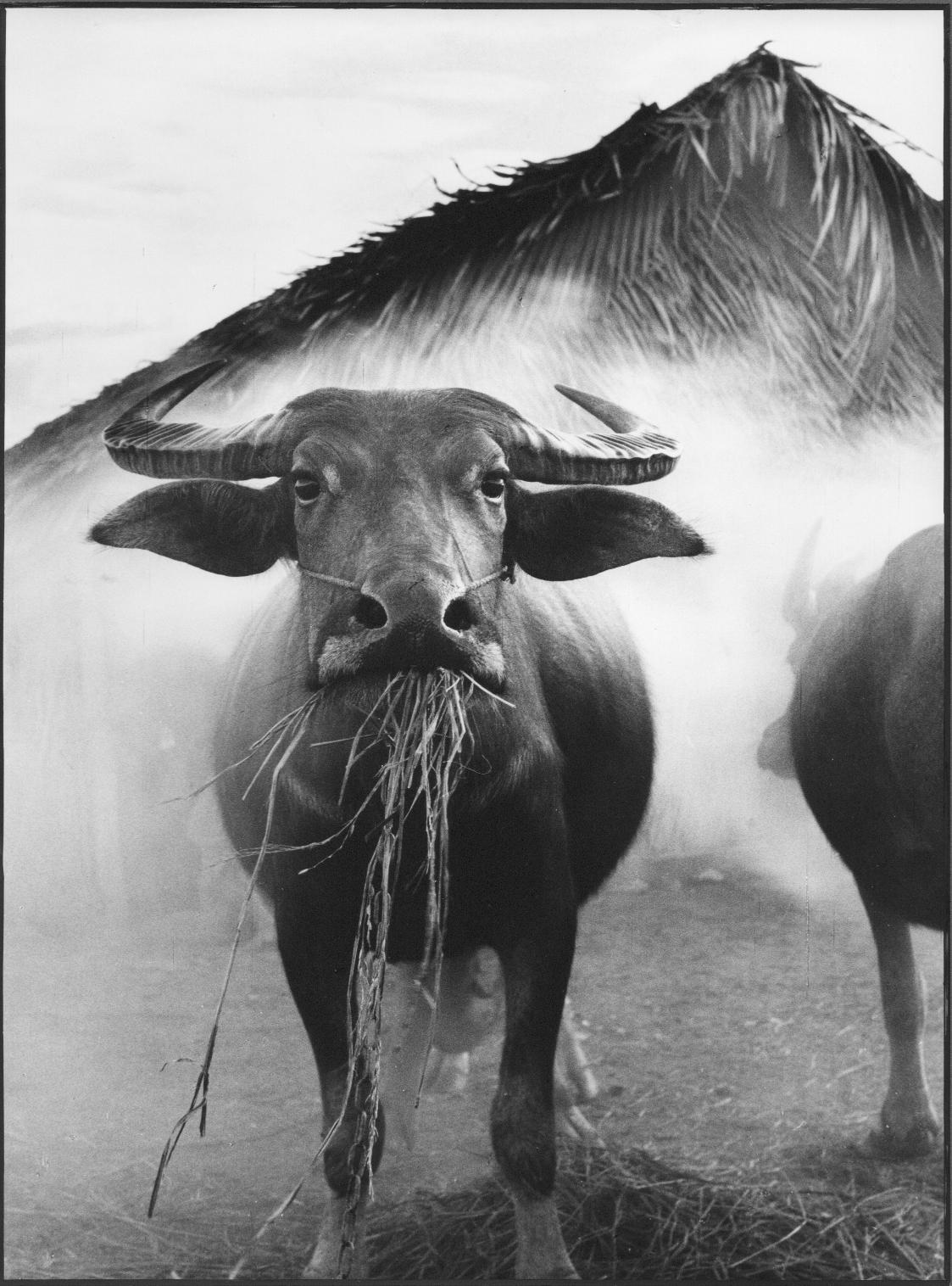 Chewing, Vietnam , 1962