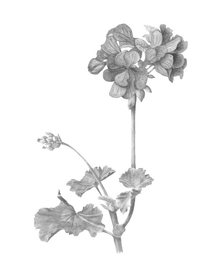 Geranium   (Pelargonium Graveolens) : The oil extracted from this plant has been used for years to help healing of wounds, burns and skin ulcers. We decided to use this essential oil as it possesses antioxidant and antiseptic properties and helps to balance the sebum production.  Source: Botanary Botanical Dictionary