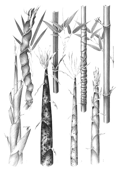 Bamboo   (Bambusoideae):  Bamboo is used in Chinese medicine to speed the healing of infections, and parts of India regard it as a remedy for infertility and reproductive system imbalances in addition to a soothing anti-inflammatory. Studies have also demonstrated that bamboo inhibits some infectious bacteria. Bamboo has been shown to serve as an effective antioxidant and pro-oxidant. It also is said to not only fight free radical damage, but also boost sunscreen efficacy, all while contributing to improved elasticity. Bamboo is rich in silica, an essential nutrient known to help the body absorb key minerals and support collagen production.