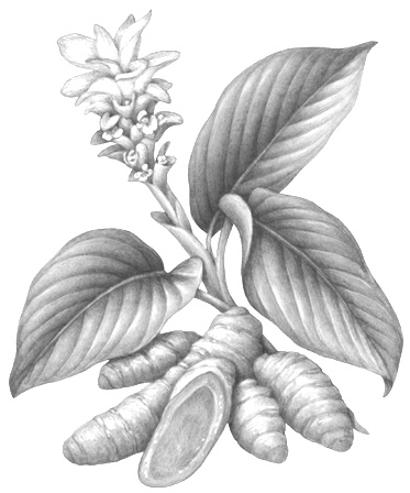 White Turmeric   (Curcuma Zedoaria) : Extracts from White Turmeric, known as tetrahydrocurcuminoids, efficiently quench free radicals on the surface of the skin due to their antioxidant properties. This protects against damage from ultraviolet radiation and environmental irritants.  Source: Botanary Botanical Dictionary