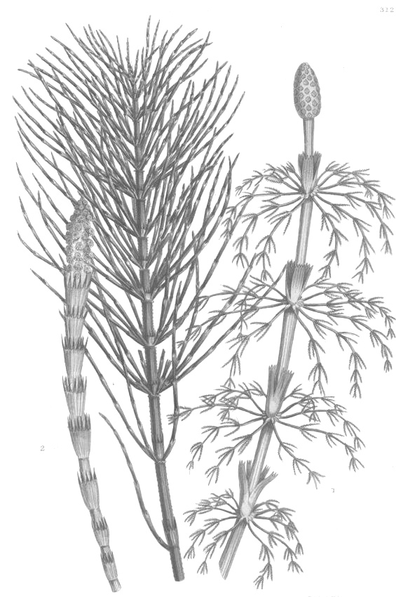 Horsetail  ( Equisetum Arvense ): Horsetail contains a molecule called equisetonin which has a mild diuretic effect and that is why this herb may help reduce the appearance of puffiness. Horsetail is also rich in silica. Several clinical reports showed that this plant has firming and regenerative properties.  Source: Botanary Botanical Dictionary