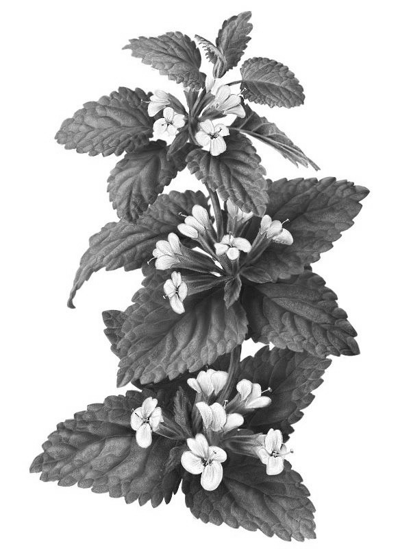 Lemon Balm   (Melissa Officinalis):  Protects against environmental stressors. The caffeic and ferulic acid, which are present within this plant are potent antioxidants.  Source: Botanary Botanical Dictionary