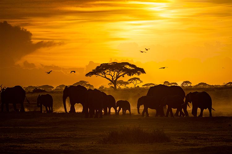 Herd of African Elephants at Golden Sunset.jpg