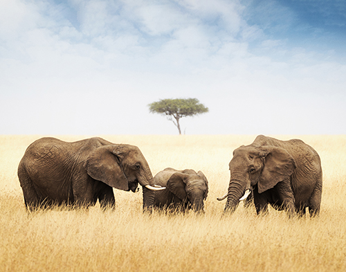 Three elephant in tall grass in Africa.jpg
