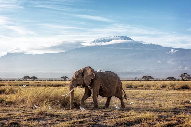 African Elephant Walking Past Mount Kilimanjaro.jpg