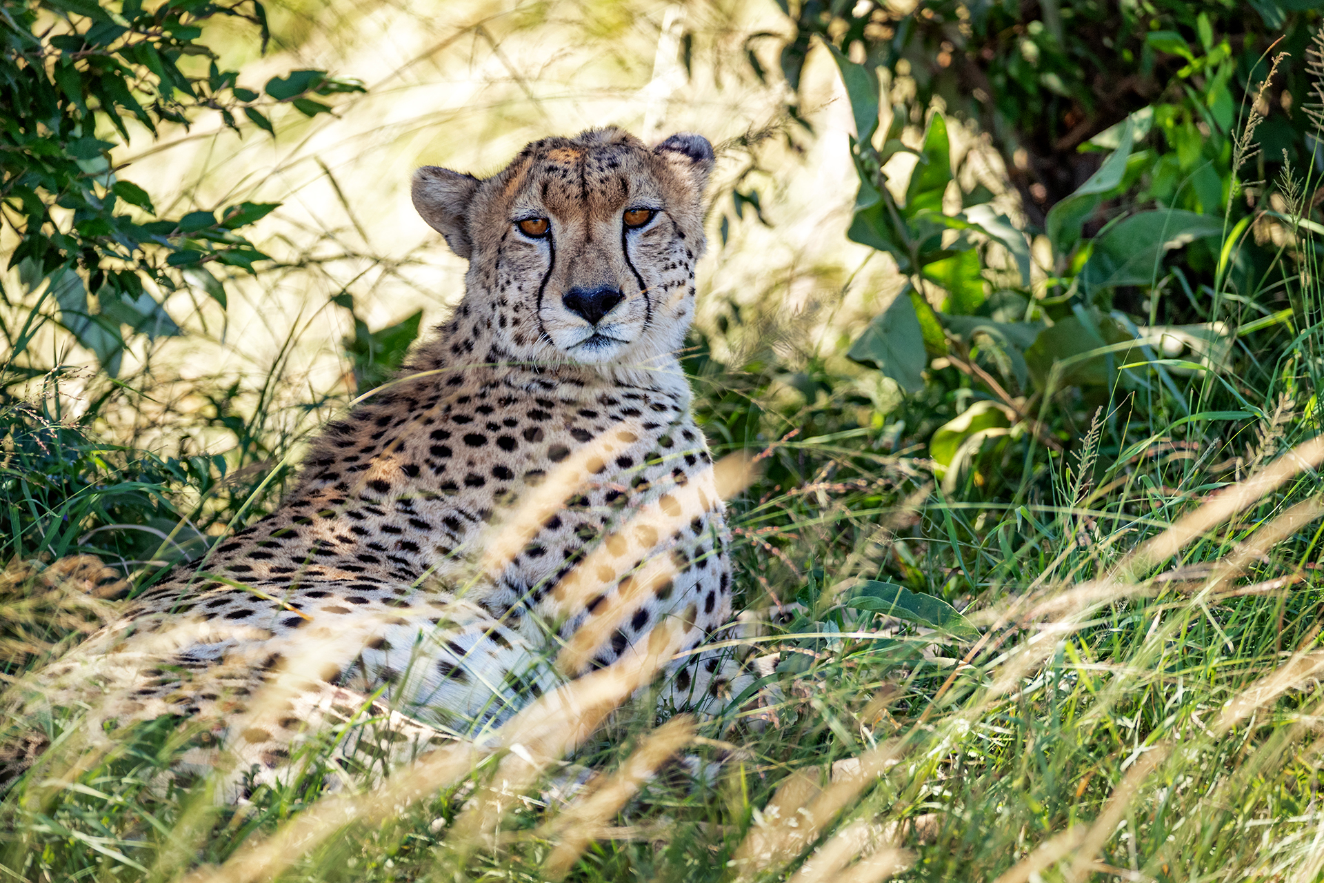 Cheetah in Grass in Kenya Africa.jpg