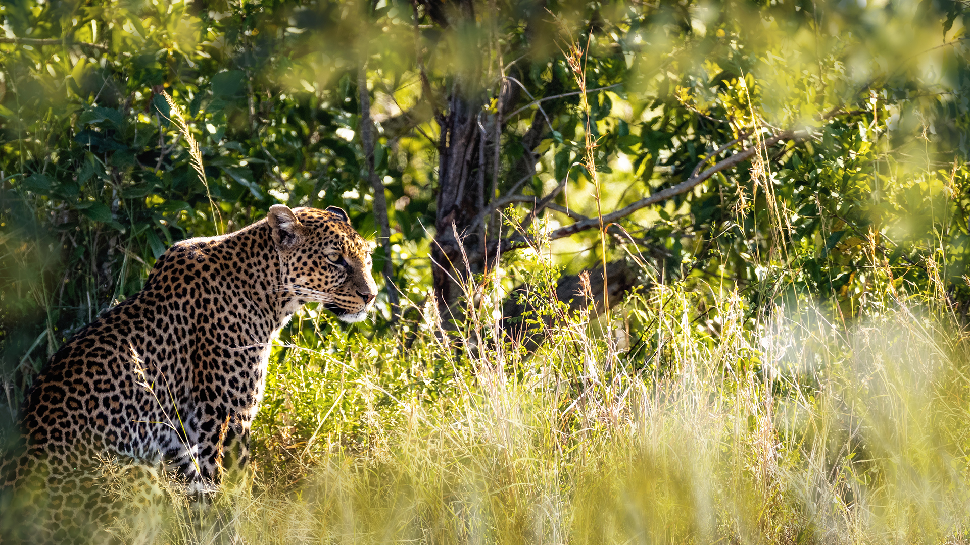 Leopard in Wild of Kenya Africa.jpg