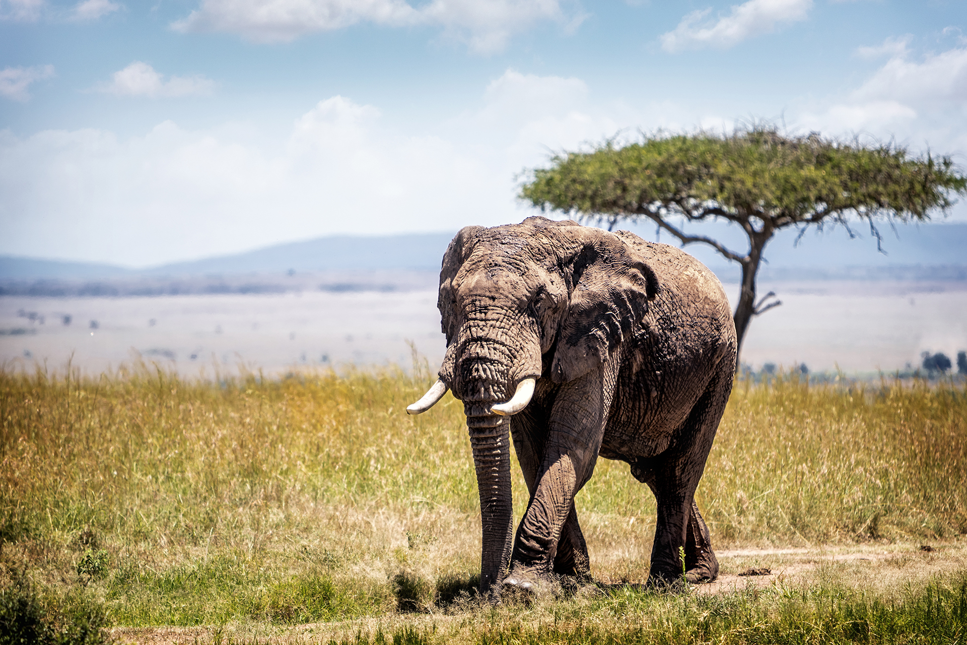 Large Bull Elephant Walking Forward in Kenya.jpg