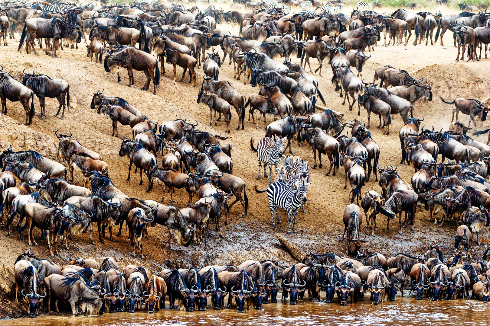 Zebra in Crowd of Wildebeest.jpg