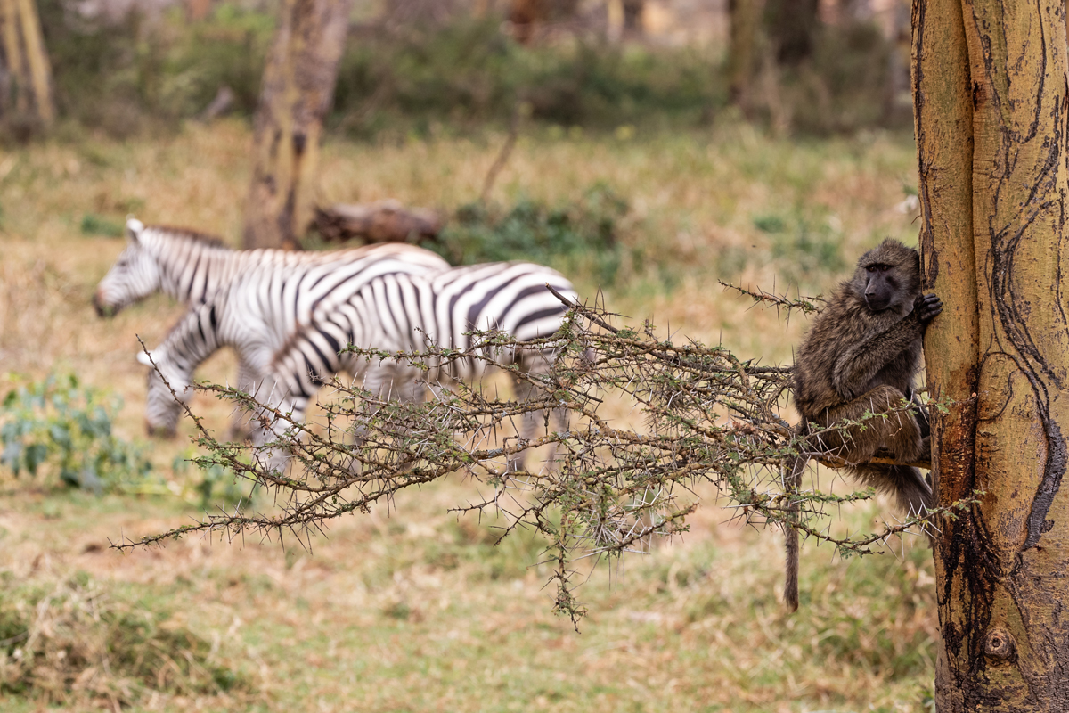Baboon in Tree With Zebra in Background.jpg