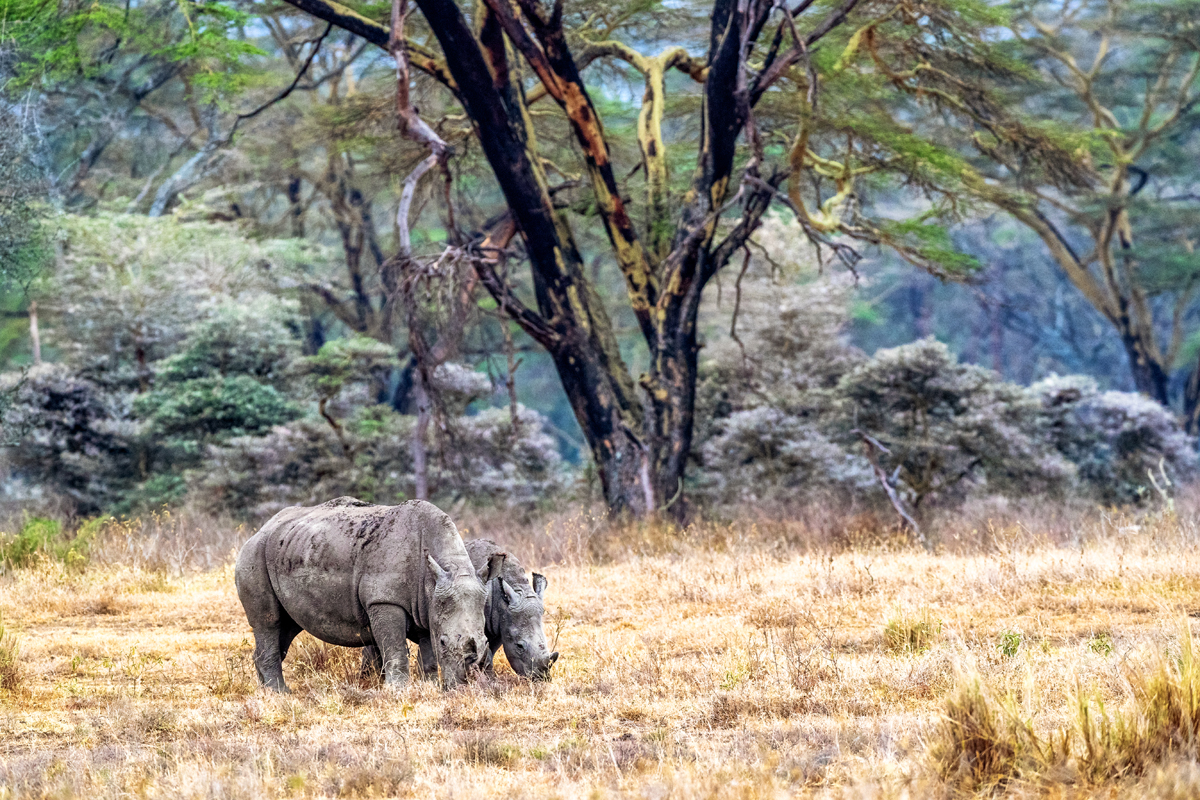 Baby and Parent White Rhino in Lake Nakuru.jpg