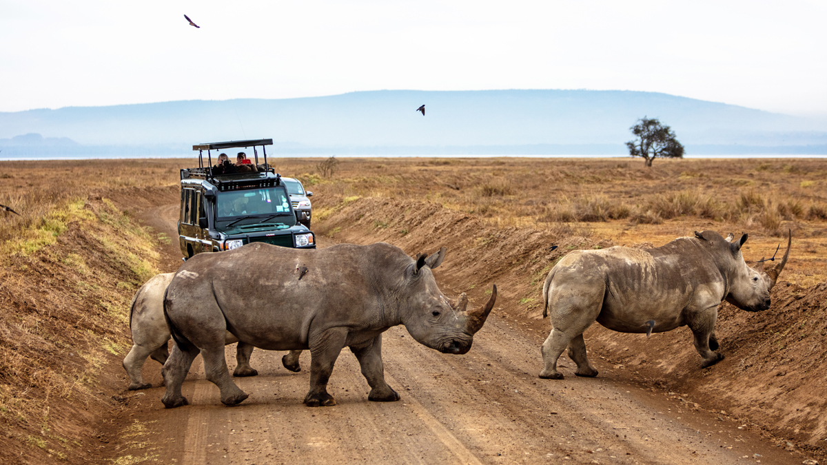 Family of Rhinos Walking Across Road in Africa.jpg