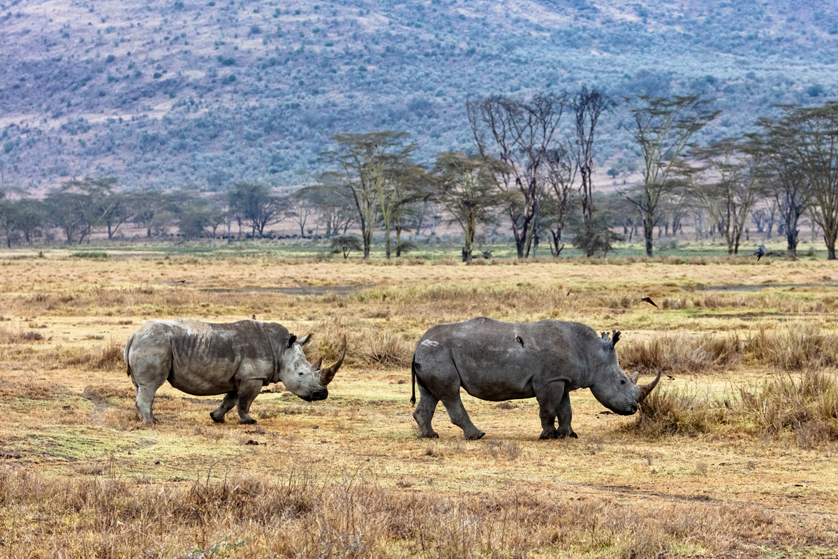Rhino and Calf Walking in Lake Nakuru Kenya.jpg