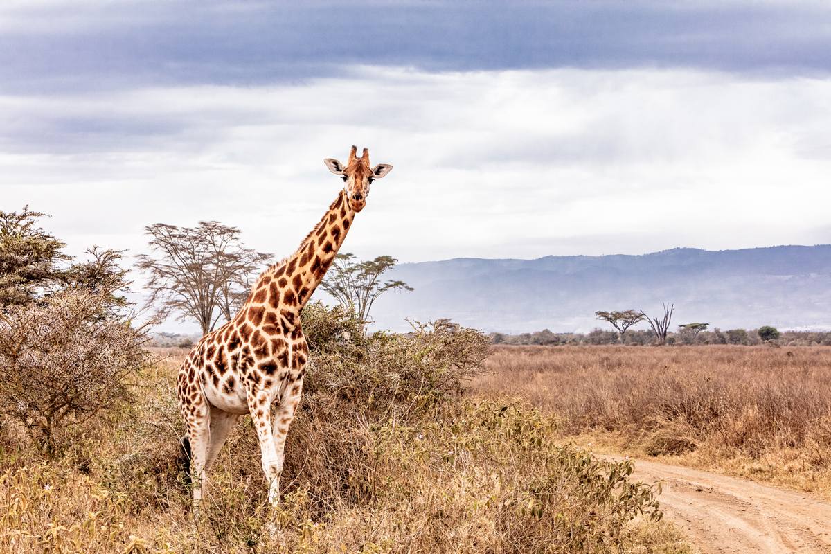 Rothschild Giraffe Along Road in Kenya Africa.jpg