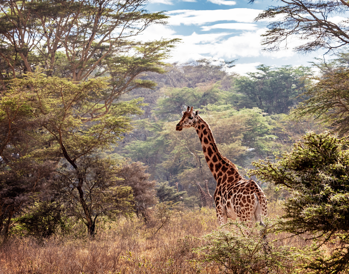 Rothschild Giraffe in Lake Nakuru Kenya.jpg