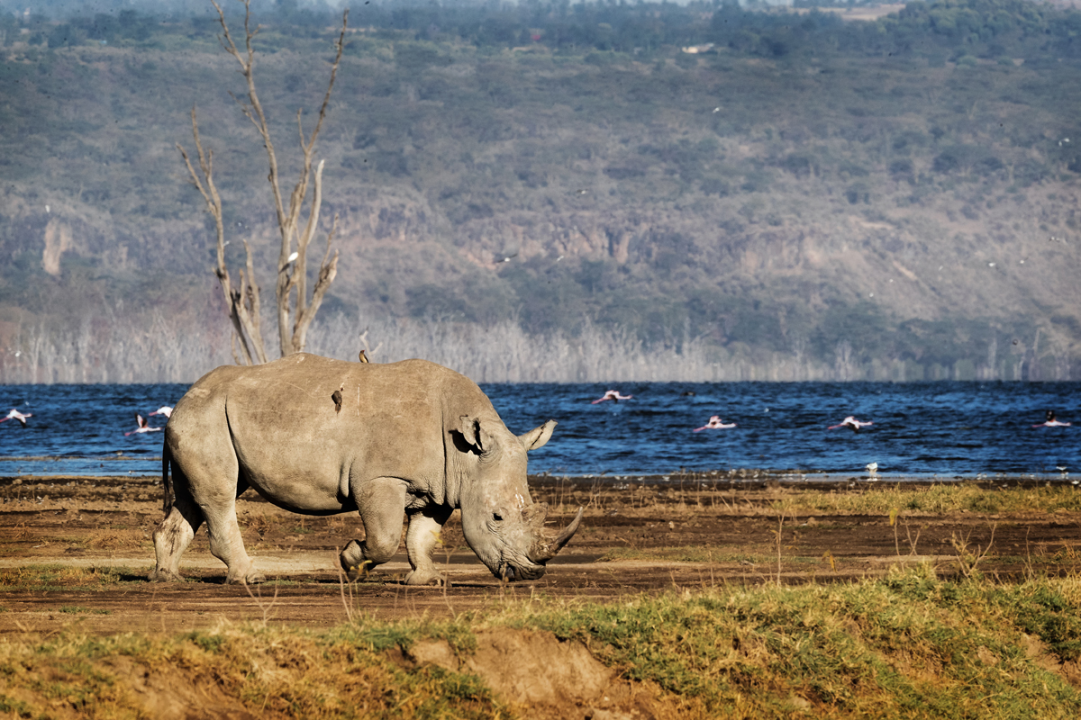 Southern White Rhino Walking in Lake Nakuru.jpg