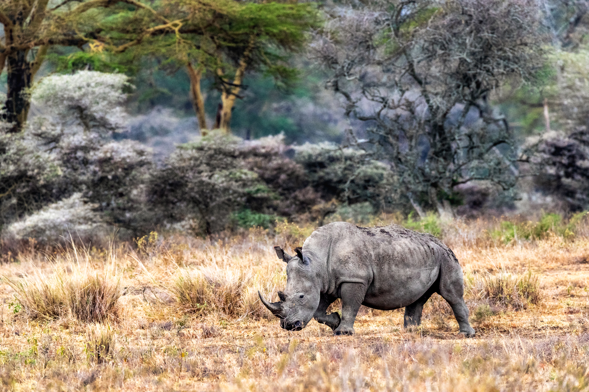 White Rhino Walking Side in Lake Nakuru Kenya.jpg