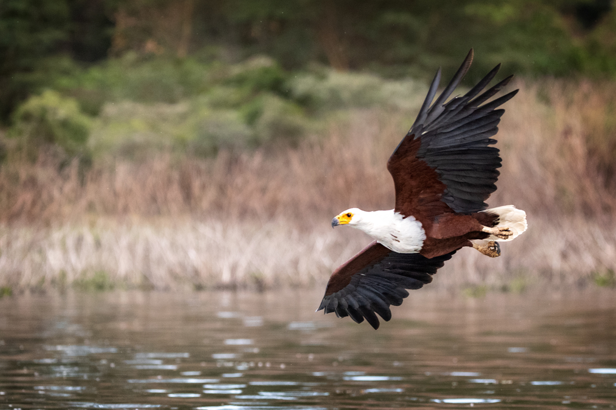 Fish Eagle Soaring Over Lake Naivasha.jpg