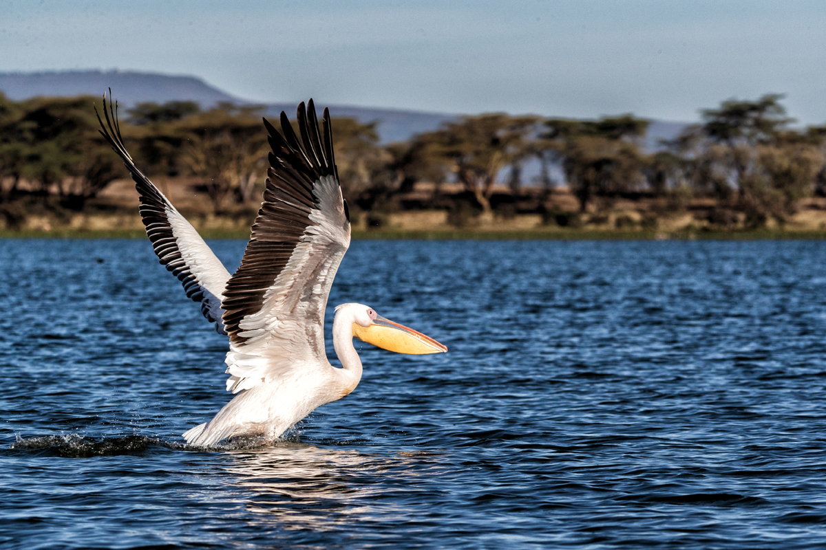 Pelican Taking Off For Flight on Lake Naivasha.jpg