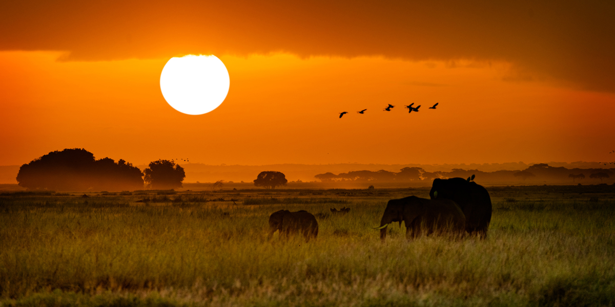 African Elephants Walking at Golden Sunrise.jpg