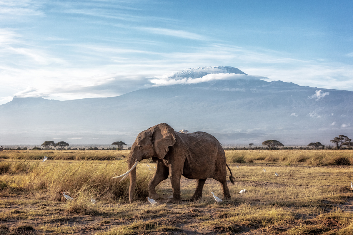 African Elephant Walking Past Mount Kilimanjaro.jpg
