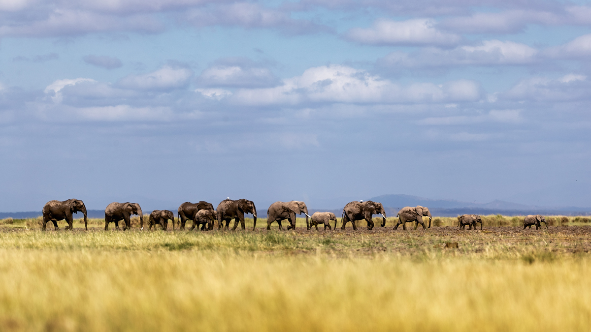 Baby Elephants Leading Herd in Line in Kenya.jpg