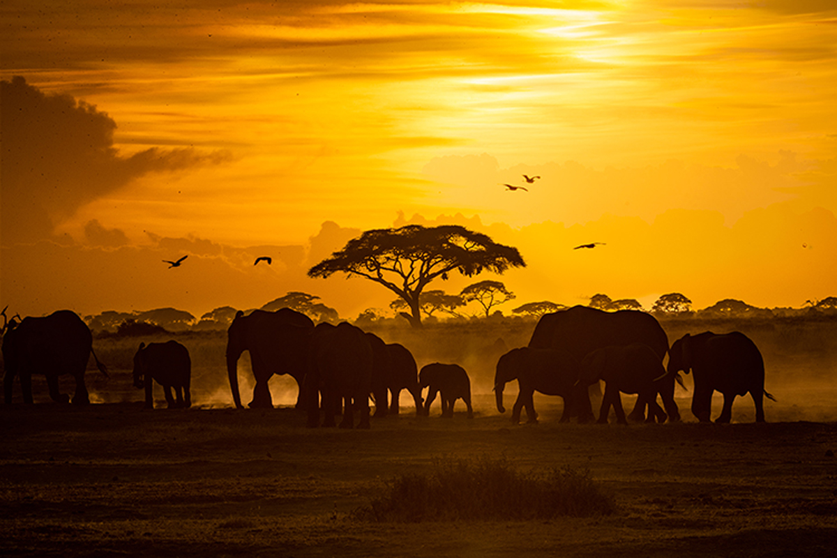 Herd of African Elephants at Golden Sunset.jpg