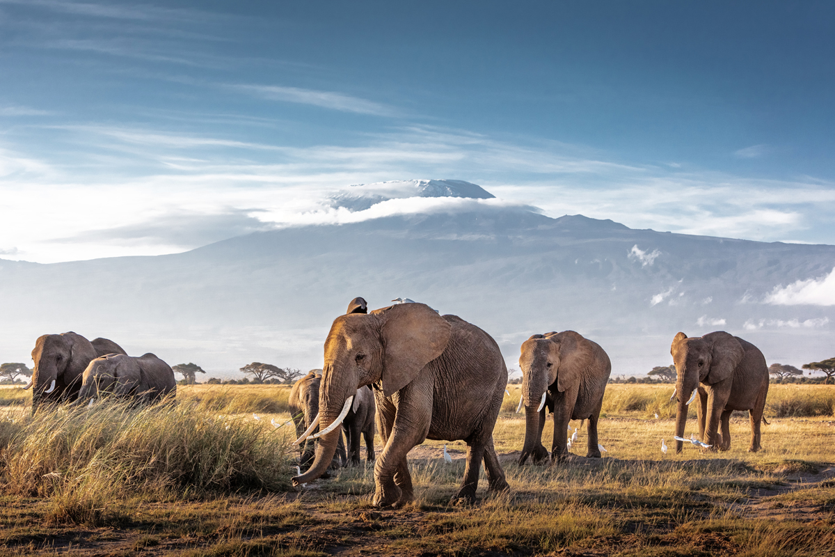 Herd of African Elephants in Front of Kilimanjaro.jpg