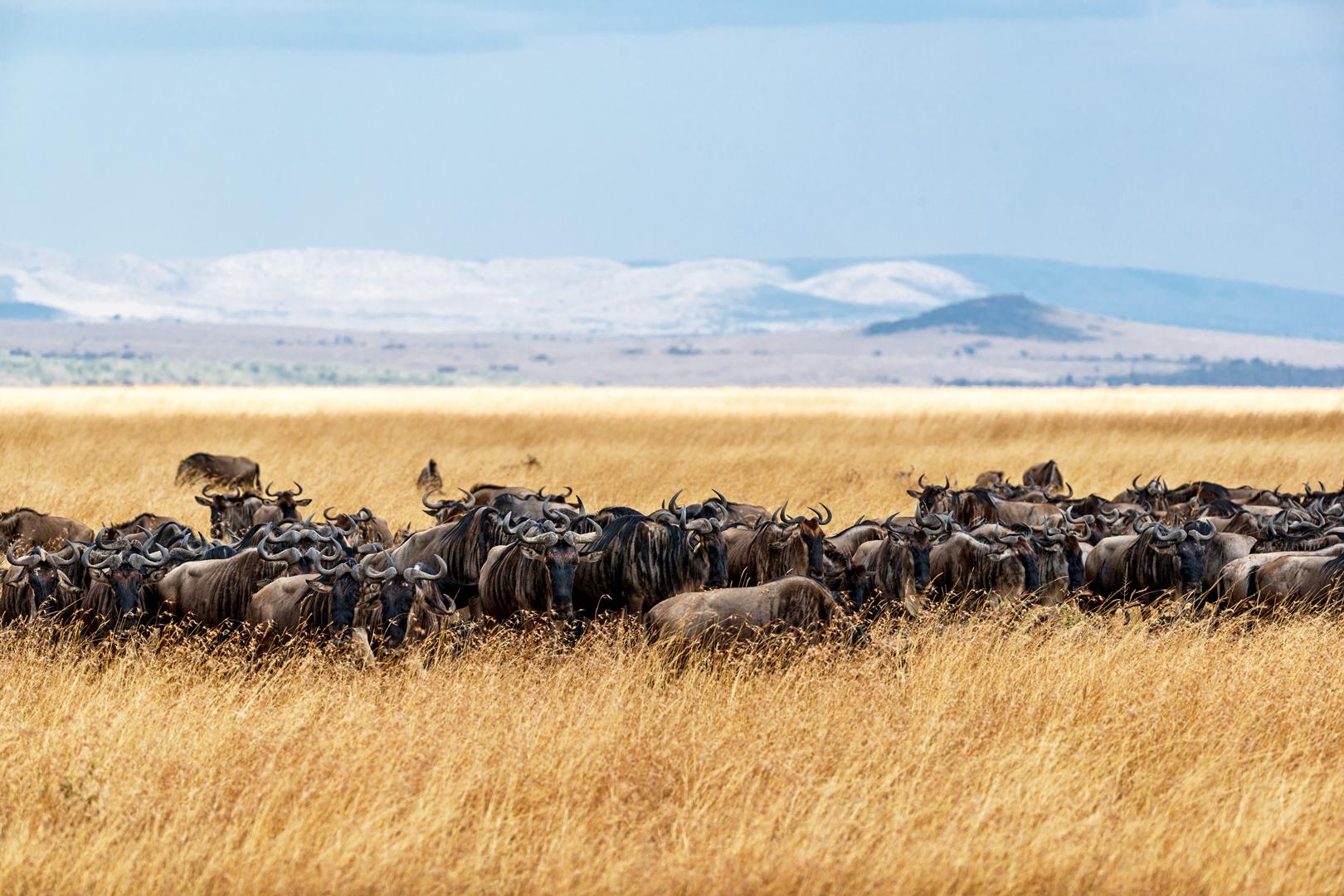 Herd of Buffalo in Tall Kenya Grass.jpg