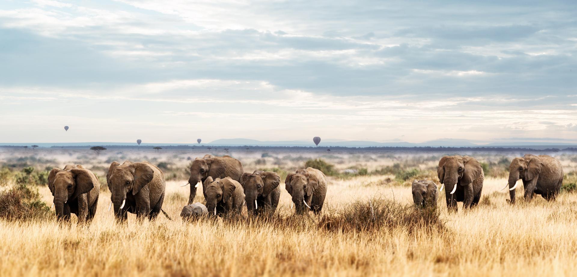 Herd of Elephant in Kenya Africa.jpg