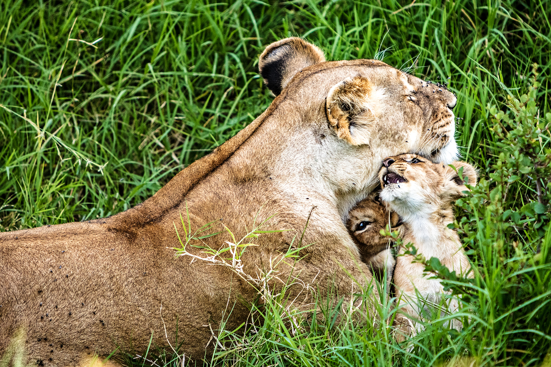 Affectionate Lioness With Playful Baby Cubs.jpg