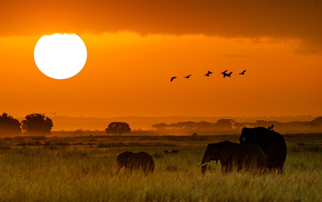 African Elephants Walking at Golden Sunrise.jpg