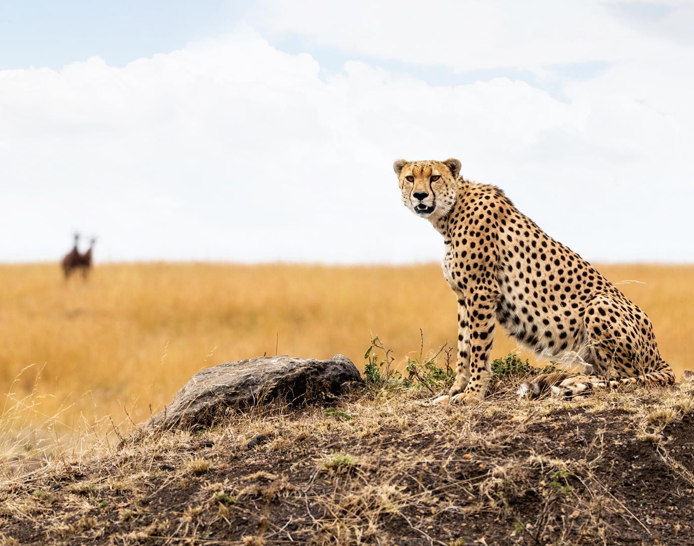 Cheetah in Africa Looking Into Camera.jpg