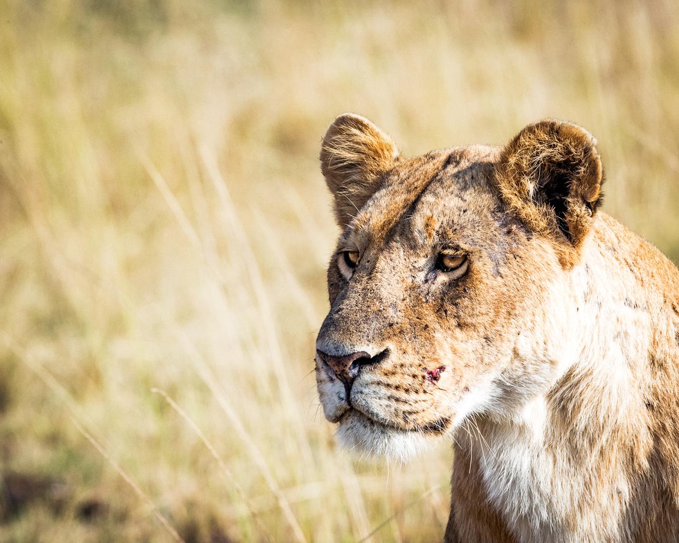 Closeup Lioness - Copyspace in Blurred Background.jpg