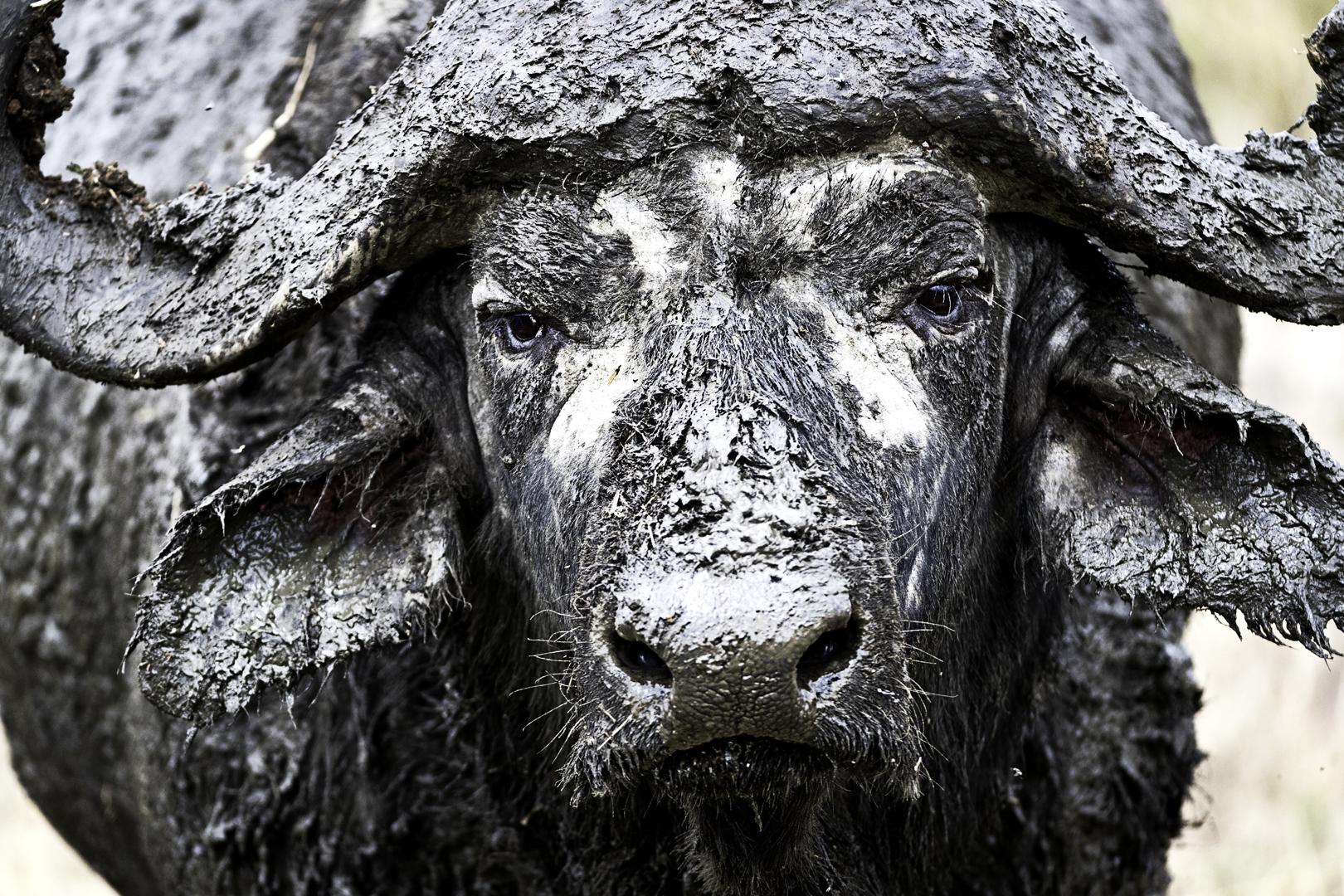 Closeup Muddy Cape Buffalo.jpg