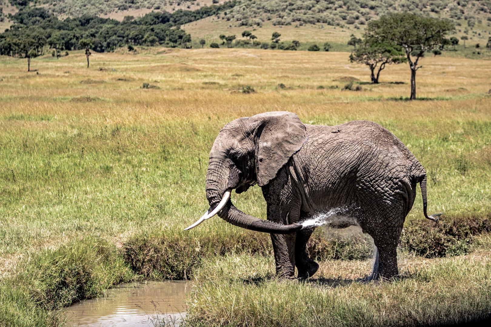 Elephant Spraying Water Bathing in Kenya Africa.jpg