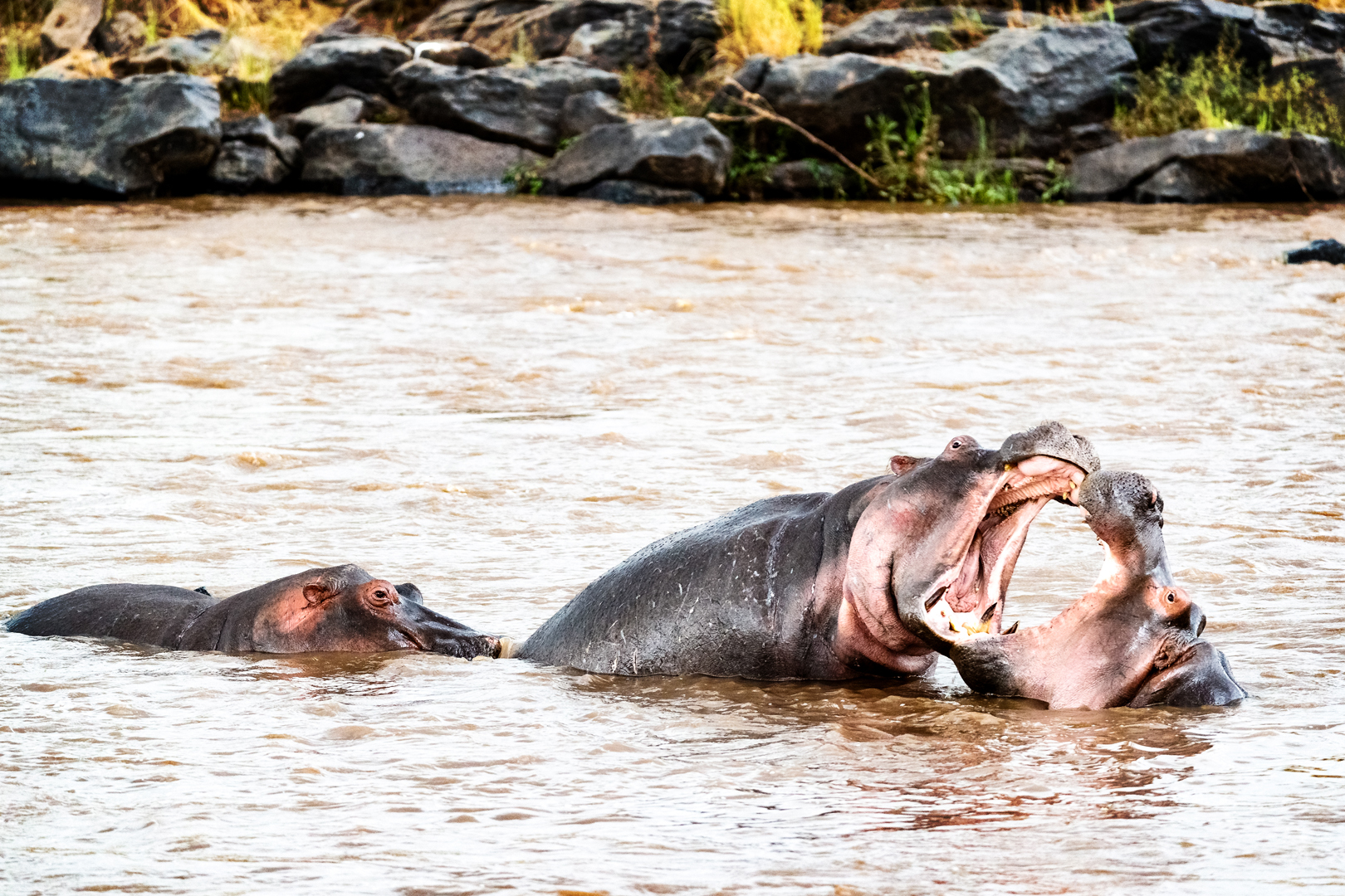 Hippos Playing With Mouths Wide Open.jpg