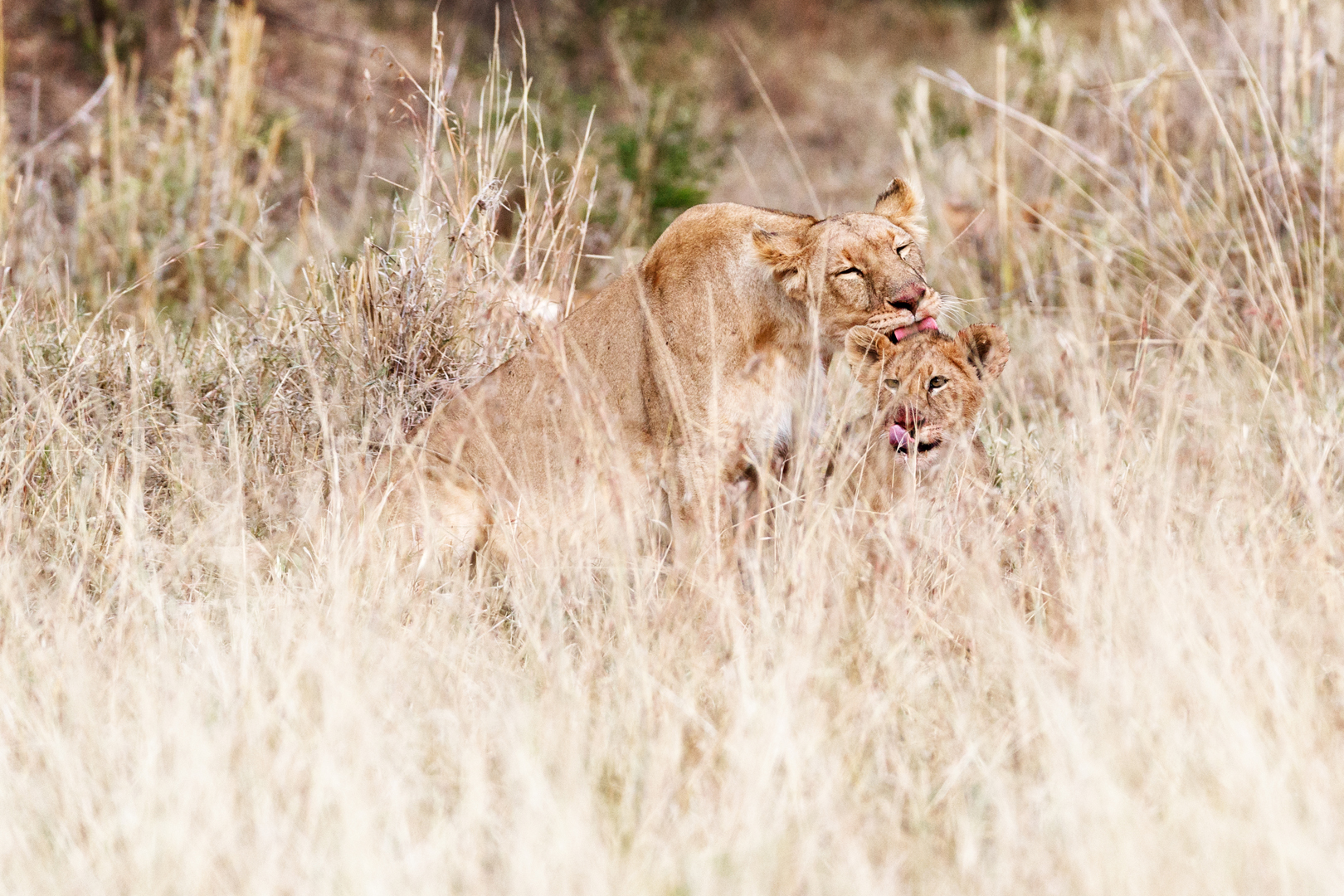 Lioness and Cub Cleaning after Dinner.jpg