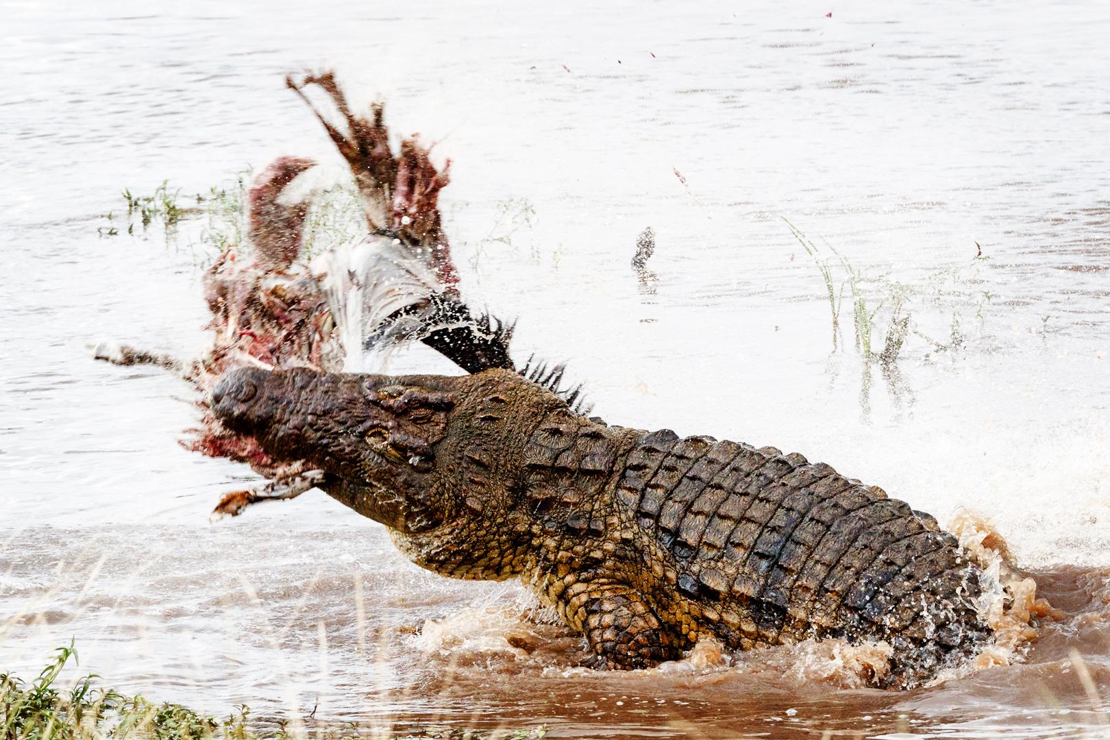 Nile Crocodile With Kill in Mara River.jpg