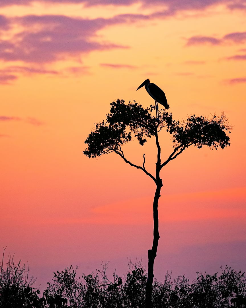 Stork on Acacia Tree in Africa at Sunrise.jpg
