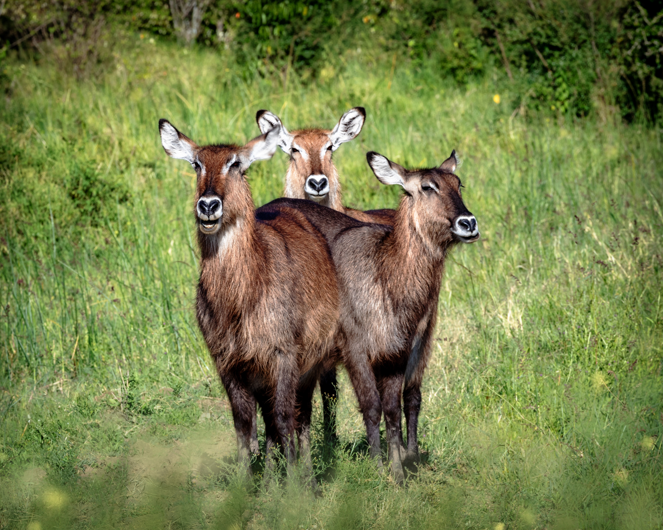 Three Cute Waterbuck Together in Kenya.jpg