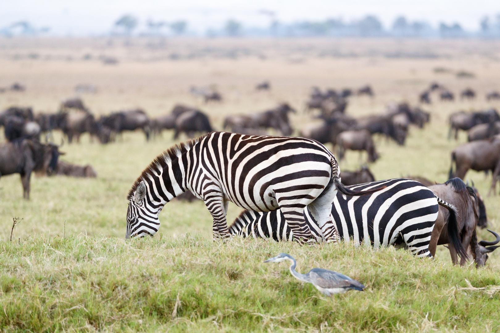 Zebra and Wildebeest Grazing in Africa.jpg
