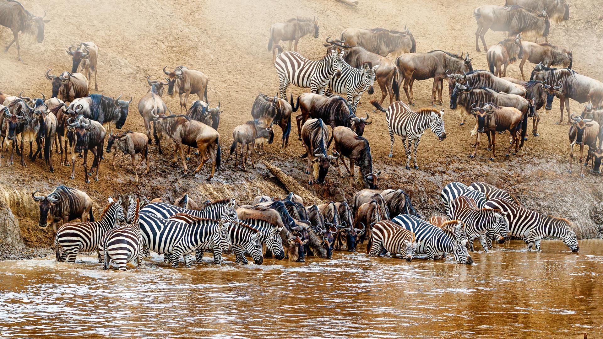 Kenya Great Wildebeest and Zebra Migration Scene.jpg